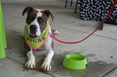 Mama Liberty is an adoptable Boxer Dog in Cleveland, OH. Name : Mama Liberty Age : 3 This is one happy, former Mama! Liberty is a happy, goofy girl who wants some loving be it from belly rubs or ear s...