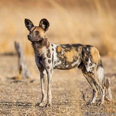 A beautiful African wild dog. South Luangwa National Park...