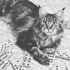 Lana is growing a penchant for vintage domino! #cats #mainecoon instagrammed by ale_rosaspina