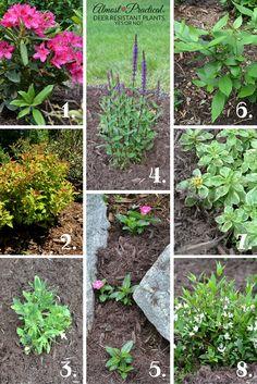 Can Deer Resistant Plants Promise a Lush Summer Garden?