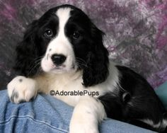 cockachon puppies | Available Puppies for sale in NH