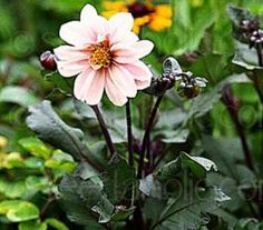 Dahlia Redskin was the All American Selection winner of 1975. It is an excellent bedding plant as well as a cut flower.