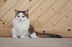 The Napoleon cat's name is a reference to Napoleon Bonaparte because of its short stature. Gato Munchkin, Manx, Burmilla, Napoleon Cat, American Curl, Cat Couple, Kitten Photos, Cat Whiskers, Kitten Gif