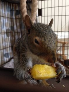 Squirrel & yellow watermelon
