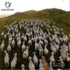 Rebanho Tabapuã no Estado do Pará - Foto Via:@Berrantecom - #Gado#Pecuaria#Fazenda#Curral#PecuariaBrasil#PecuariaRural#Farm#MadeInPasto#Boiadeiros#Lida#LidaBruta#SemoCaipiraMemo#Nelorada#NaLidaDoBoi#MadeInFarm#Pecuaria#Rural#CountryLife#Country#CowboyUP#Cowboy#Nalida#fazenda#farm#rancho#aindaexistemcowboys#SemoCaipiraMemo#gado#curral#achadosdasemana#MadeInFarm by madeinfarm