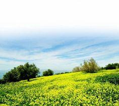 Golden mustard flowers carpet a field on a hill above the Kinneret