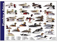 Postcard featuring a wide variety of ducks. Sent by a Postcrosser in the Netherlands. Geese Breeds, Duck Breeds, Bird Illustration, Illustrations, Beautiful Birds, Animals Beautiful, Different Birds, Animal Species, Animals Of The World