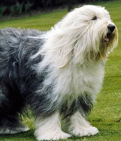 Bobtail (Old English sheepdog) is the oldest breed of sheepdogs in the British Isles. The name of the breed was derived from an old English tradition that ha. Big Dogs, Large Dogs, Cute Dogs, Dogs And Puppies, Awesome Dogs, Doggies, English Sheepdog Puppy, English Dogs, Animals
