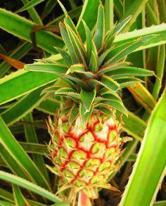 Pineapple fields, Hawaii