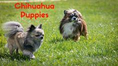 CUTE CHIHUAHUA PUPPIES PLAYING