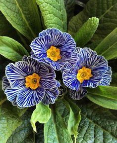 Name: Primula zebra blue. Beautiful : … Name: Primula zebra blue. Amazing Flowers, Colorful Flowers, Beautiful Flowers, Different Flowers, Types Of Flowers, Leaf Flowers, Wild Flowers, Flower Close Up, Primroses