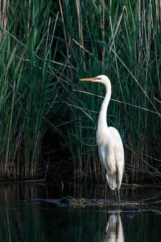 Great Egret, Sunken Meadow State Park, Long Island, NY