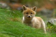 Risultati immagini per Immagini di volpe