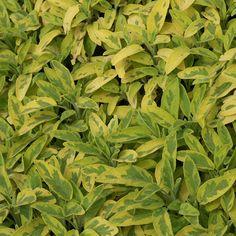 SALVIA officinalis 'Icterina' (Sauge) : Florifères, de culture facile en sol ordinaire. Feuillage souvent aromatique. En plus de leur floraison colorée, certaines possèdent un feuillage très décoratif. Feuillage vert grisâtre, panaché de jaune. Fleurs violet pâle.