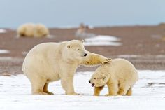 A polar bear mother and cub playing on Barter Island
