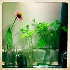 On sink duty: zinnia, thyme, Valentino basil, rosemary, more basil & lemon balm.