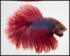 AquaBid.com -  HM015 (Male) - Red Rose Dragon