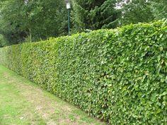 Green Beech Hedging Plants Fagus sylvatica - Grade A Stock Ficus Hedge, Bamboo Hedge, Rose Hedge, Flower Hedge, Beech Hedge, Privet Hedge, Murraya Hedge, Podocarpus Hedge, Gardens