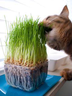 om nom cat grass