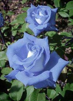 Captivating Why Rose Gardening Is So Addictive Ideas. Stupefying Why Rose Gardening Is So Addictive Ideas. Beautiful Rose Flowers, Exotic Flowers, Amazing Flowers, Beautiful Flowers, White Flowers, Ronsard Rose, Rose Pictures, Hybrid Tea Roses, Flower Tea