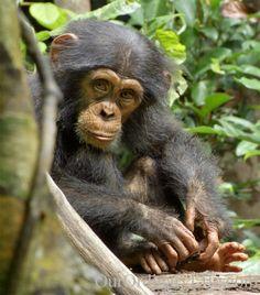 oscar (from disney's chimpanzee)- i love him!