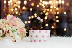 Puppies, puppies, puppies! www.teacuppuppiesstore.com 954-353-7864