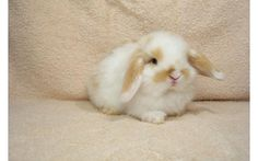 A holland lop bunny. I need this adorableness in my life.