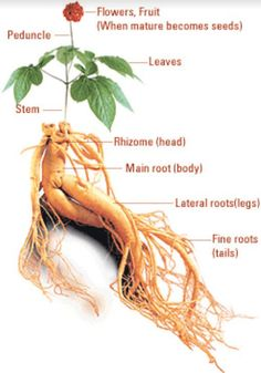 We have one last installment for your at home medicine cabnet and we are uncovering the 11 best herbal remedies. Dive in and let us know what you think in the comments section here in the article. Herbal Cold Remedies, Home Remedies, Ginseng Plant, Home Medicine, Family Chiropractic, Body Art Photography, Parts Of A Plant, Medicinal Plants, Herbalism