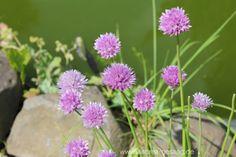 Scharfe Schnittlauch-Blüten