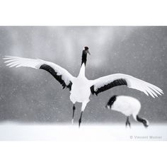 Photo art : VMHO5 Red crowned cranes by Vincent Munier
