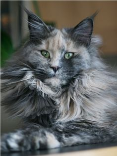 Maine Coon Blue Torti Solid G Respectcoon Kartagenatap The Link To Check Out Great Cat Products We Have For Your Little Feline Friend