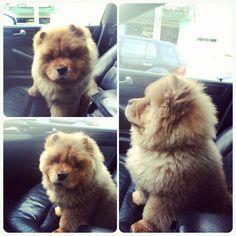 Chow puppy! Ahhhh my heart