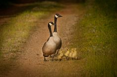Family time - Canadian geese