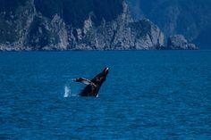 #Alaska coast off Seward. Humpback Whale