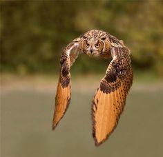 Owl in flight: hermosas creaturas de Dios!!