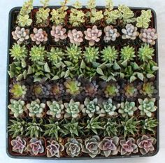 I love succulents and love the idea of a garden-themed wedding. Although these are more arid-loving plants, they'd make great mini-terrarium gifts. | Amazon.com: 256 Beautiful Succulent Wedding Favors and Gifts