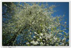 * Weißes Blütenmeer * White sea of blossoms * www.ekagatta.de