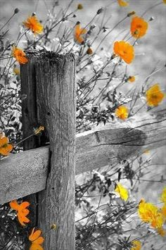 Old weathered wood fence against orangey flowers makes an interesting contrast