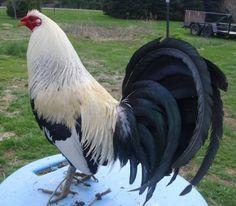 Game Fowl old man! Chicken Breeds Chart, Rare Chicken Breeds, Bantam Chicken Breeds, Rooster Tattoo, Rooster Art, Backyard Birds, Chickens Backyard, Pretty Birds, Beautiful Birds