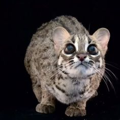 Video by @joelsartore | Palawan leopard cats can be found on Palawan Island in the Philippines. They are about the size of a domestic cat but slightly leaner with distinct black markings on their heads and webbed toes. They're solitary and spend a lot of their time resting in trees when they aren't hunting for small mammals, birds and amphibians. They are capable of hybridizing with domestic cats, producing the popular pet breed, bengal cats. Though it's illegal to hunt leopard cats in many…