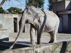 A elephant in Japan, dubbed the loneliest of her species in the world by animal rights campaigners, died Thursday, zoo officials announced. Trophy Hunting, Travel Articles, Animal Rights, Animal Kingdom, Lonely, Tokyo, Wildlife, Photo And Video, Park