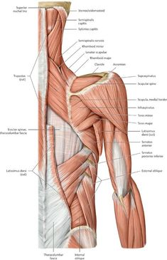 Functional Anatomy of the Upper Limb - Anatomy: An Essential Textbook, ed. - by Anne M Gilroy Upper Limb Anatomy, Anatomy Study, Anatomy Reference, Human Muscle Anatomy, Human Anatomy, Basic Anatomy And Physiology, Medical Photos, Gross Anatomy, Medical Anatomy