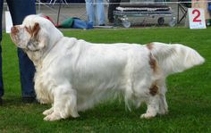 Spice Twice Athos bred by Spice Twice Kennels - Clumber Spaniel Clumber Spaniel Puppy, Basenji Puppy, Kangal Dog, Purebred Dogs, Spaniel Dog, Spaniels, Spaniel Puppies For Sale, Dogs And Puppies, Spaniel Breeds