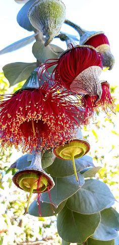 Unusual Flowers, Unusual Plants, Cool Plants, Amazing Flowers, Australian Native Garden, Australian Native Flowers, Plantation, Patterns In Nature, Native Plants
