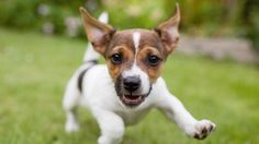 A playful Jack Russell terrier puppy Little Puppies, Cute Puppies, Cute Dogs, Puppy Images, Puppy Pictures, Pictures Images, Jack Russell Terrier, Greenfield Puppies, Sweet Dogs