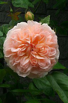 English Shrub Rose ~ 'Evelyn' U.K., 1991