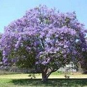 Jacaranda mimosifolia (Green ebony tree)    Click image to learn more, add to your lists and get care advice reminders each month.