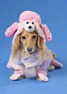 Poor thing. Why would a cute dachshund want to dress up as a fake pink poodle?