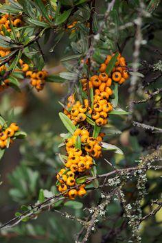 Frutos de Espino de fuego | #Fruto #Fruit