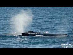 Humpback Whale Spouts 1 - YouTube
